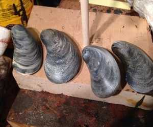 Handcarved wooden mussels